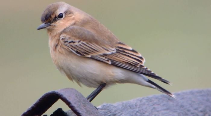 Northern Wheatear, Pitsford Res, 6th October 2014 (Mike Alibone)