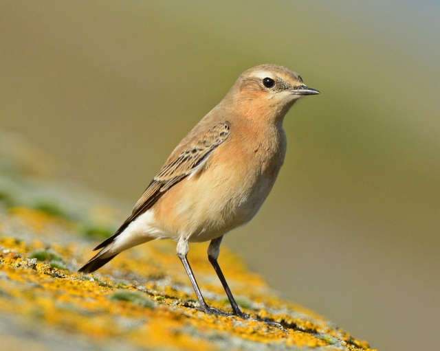 Northern Wheatear, Pitsford Res, 16th October 2014 (Clive Bowley)