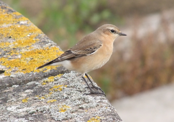 Northern Wheatear, Pitsford Res, 20th October 2014 (Doug Goddard)