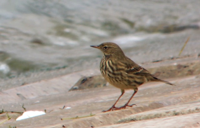 Rock Pipit, Pitsford Res, 14th October 2014 (Mike Alibone)