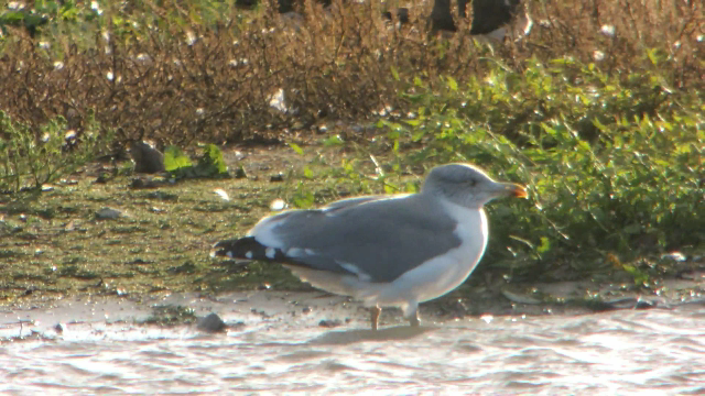 Adult 'Azorean' Gull, Stanwick GP, 21st October 2014