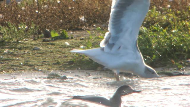 Adult 'Azorean' Gull, Stanwick GP, 21st October 2014