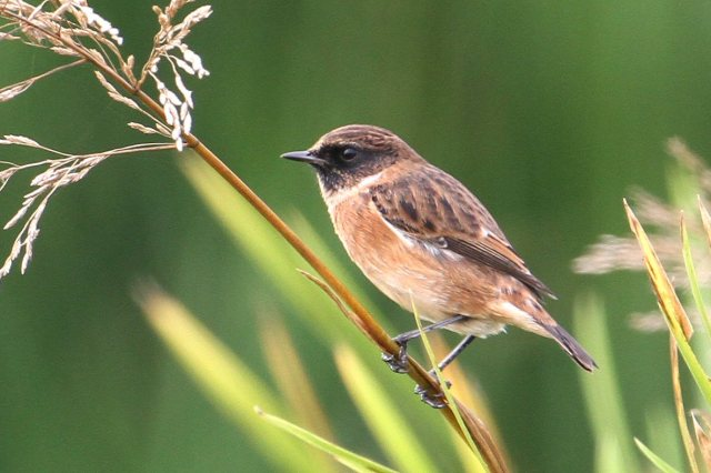 Stonechat, Hollowell Res, 27th September 2014 (Bob Bullock)