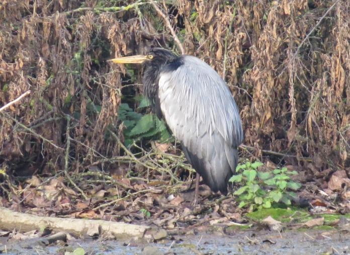 Aberrant Grey Heron, Wicksteed Park, Kettering, 9th November (Simon Hales)