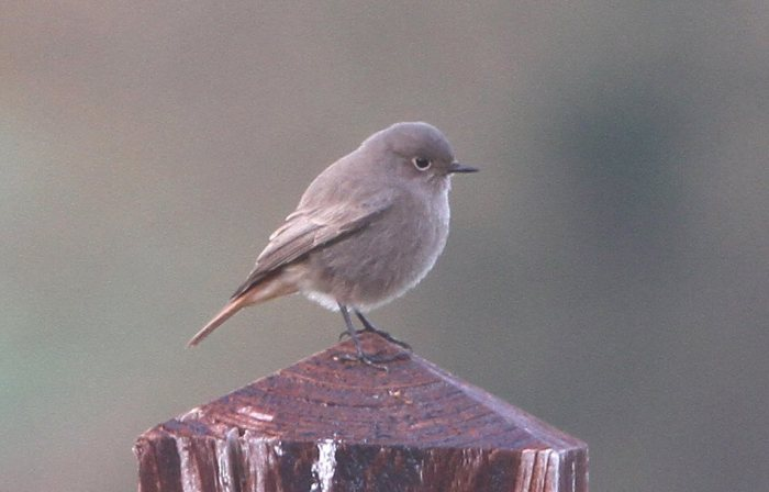 Black Redstart, Long Buckby, 3rd November 2014 (Bob Bullock)