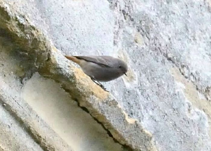 Black Redstart, Oundle, 18th November 2014 (Alex Barclay)