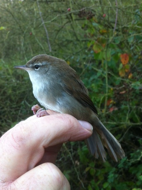 Cetti's Warbler, Stanford Res, 1st November 2014 (Adam Homer). The second this year and only the tenth to be ringed at this site.