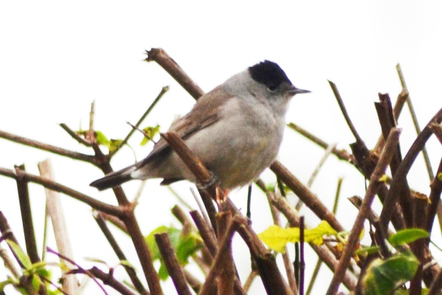 Male Blackcap, Northampton 22nd November 2014 (Stuart Mundy)