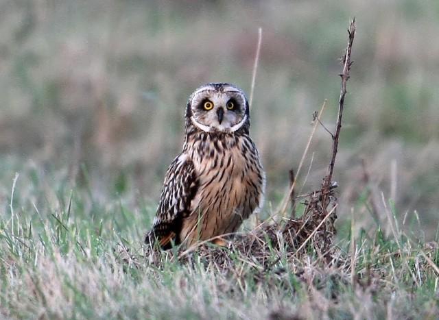 Short-eared Owl, Blueberry Farm, 3rd November 2014 (Bob Bullock)