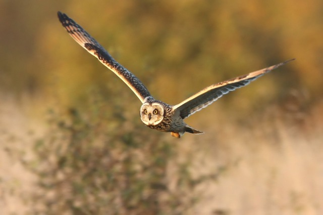 Short-eared Owl, Blueberry Farm, 3rd November 2014 (Bob Bullock)