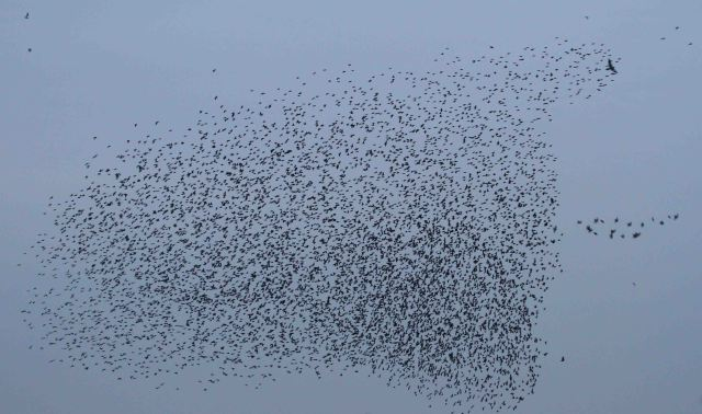 Starling murmuration and Sparrowhawk, Thrapston GP, 21st November 2014 (Alan Coles)