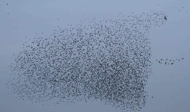Starling murmuration and Sparrowhawk, Thrapston GP, 21st November 2014 (Alan Coles)