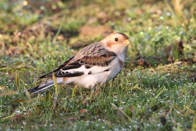 052 Snow Bunting 27.11.14 Hollowell Res