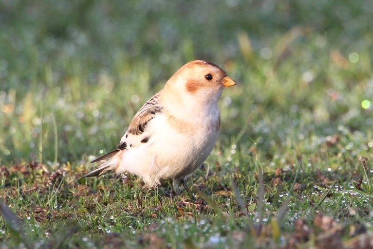 061 Snow Bunting 27.11.14 Hollowell Res