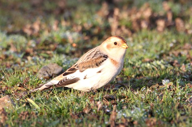 092 Snow Bunting 27.11.14 Hollowell Res