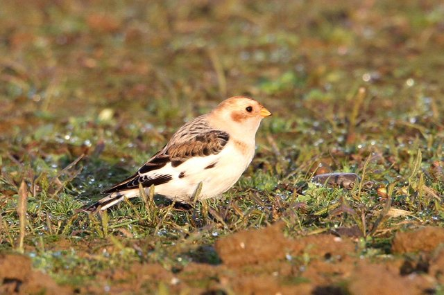 098 Snow Bunting 27.11.14 Hollowell Res