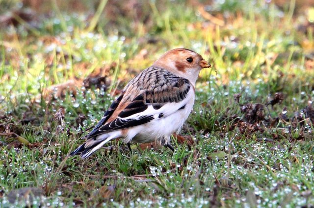 37 Snow Bunting 27.11.14 Hollowell Res