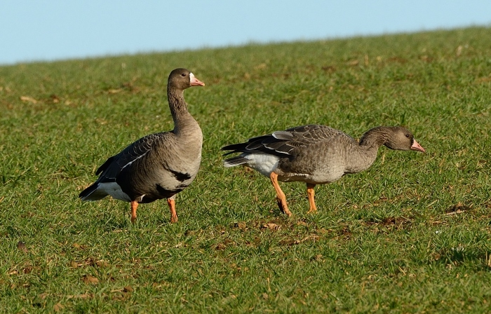 Adult and first-winter White-fronted Geese, Sywell CP, 16th December 2014 (John Moon)