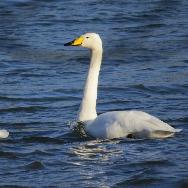 Adult Whooper Swan, Hollowell Res, 3rd December 2014 (Cathy Ryden)
