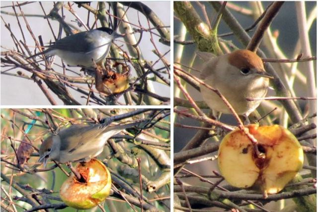 Central European Blackcaps, Sywell, December 2014 (Jim Dunkley)
