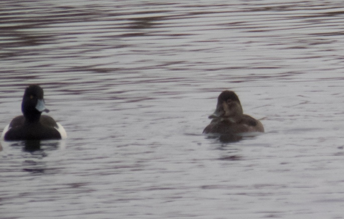 Female Ring-necked Duck, Billing GP, 26th December 2014 (Dave James)