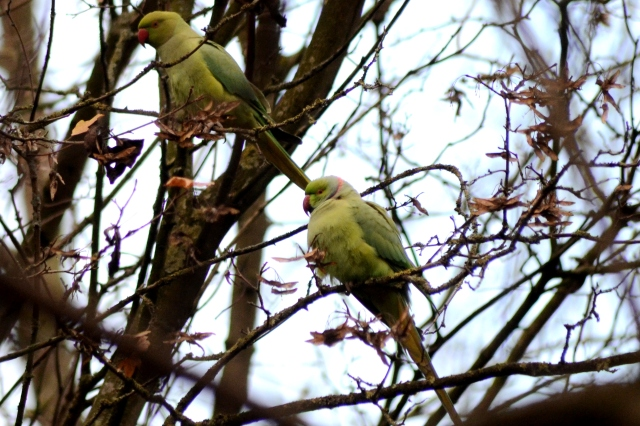 Ring-necked Parakeets, Abington Park, Northampton, 8th December 2014 (Stuart Mundy)