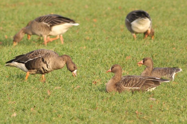 Two adult and one first-winter White-fronted Geese, Sywell CP, 16th December 2014 (Bob Bullock)