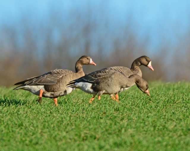 Two adult and one first-winter White-fronted Geese, Sywell CP, 19th December 2014 (Clive Bowley)