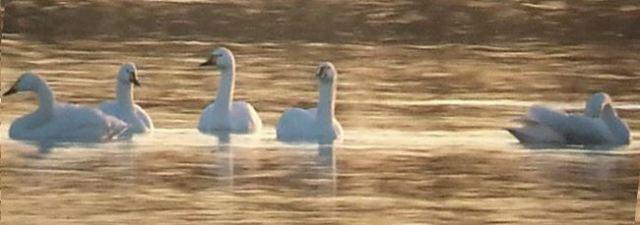 Bewick's Swans, Stanwick GP, 28th December 2014 (Steve Fisher)