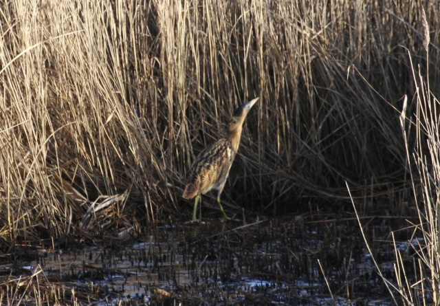 Bittern, Stortons GP, 30th December 2014 (Alan Coles)