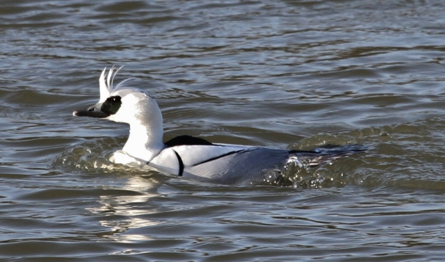 Drake Smew, Ravensthorpe Res, 11th January 2014 (Alan Coles)