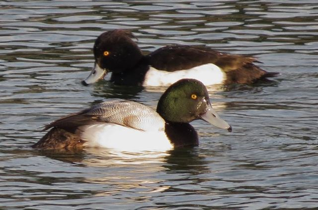 First-winter drake Scaup, Ravensthorpe Res, 25th January 2014 (John Friendship-Taylor)