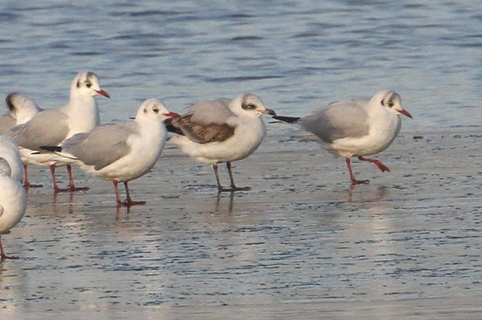 First-winter Mediterranean Gull with Black-headed Gulls, Pitsford Res, 20th January 2015 (Bob Bullock)