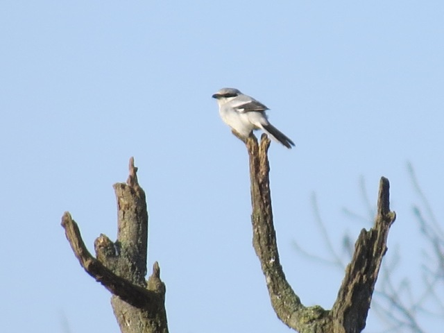 Great Grey Shrike, Burn Coppice, Deenethorpe, 11th January 2015 (Simon Hales)