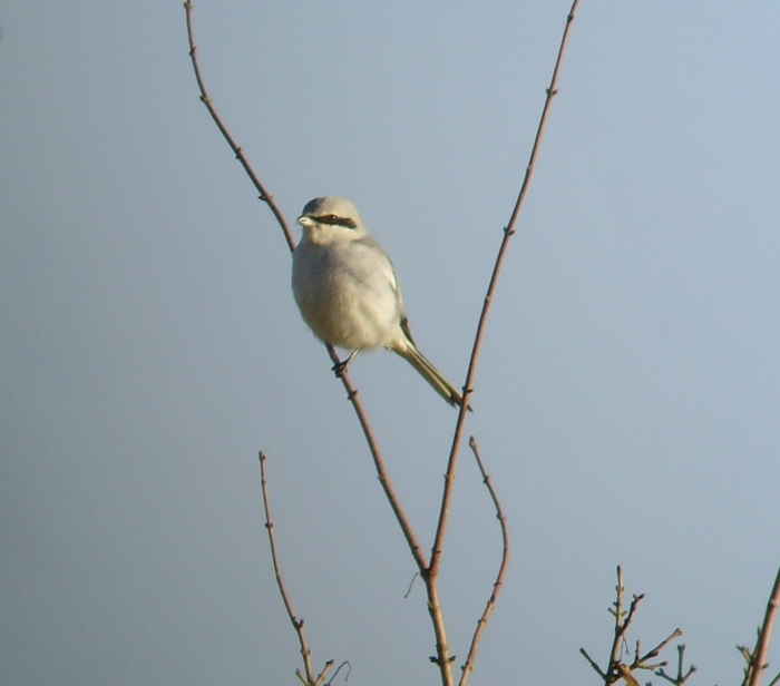 Great Grey Shrike, Burn Coppice, Deenethorpe, 8th January (Geof Douglas)
