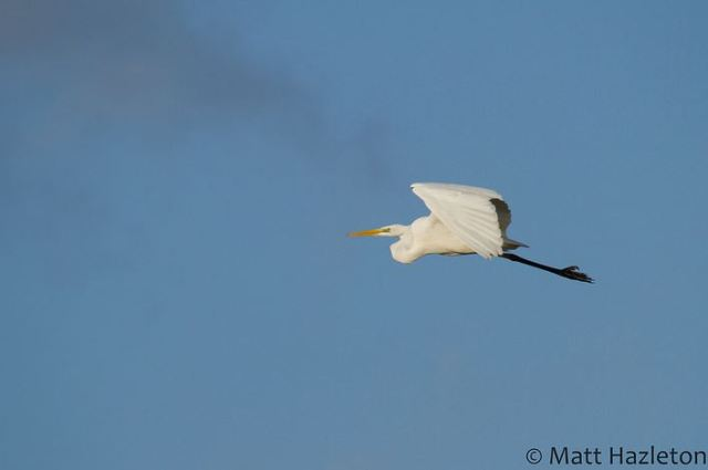 Great White Egret, Summer Leys LNR, 10th January 2015 (Matt Hazleton)