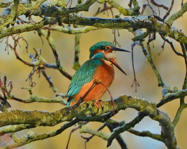 Kingfisher, Abington Park, 2nd January 2014 (Clive Bowley)