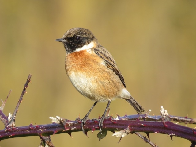 Male Stonechat, Ditchford GP, 24th January 2014 (Simon Hales)