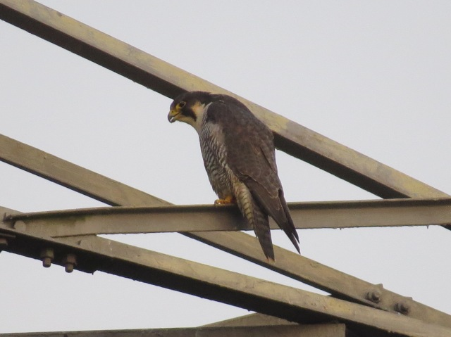 Peregrine, Ditchford GP, 27th December 2014 (Simon Hales)