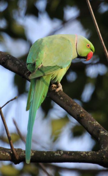 Ring-necked Parakeet, Abington Park, Northampton, 9th January 2015 (Alan Coles)