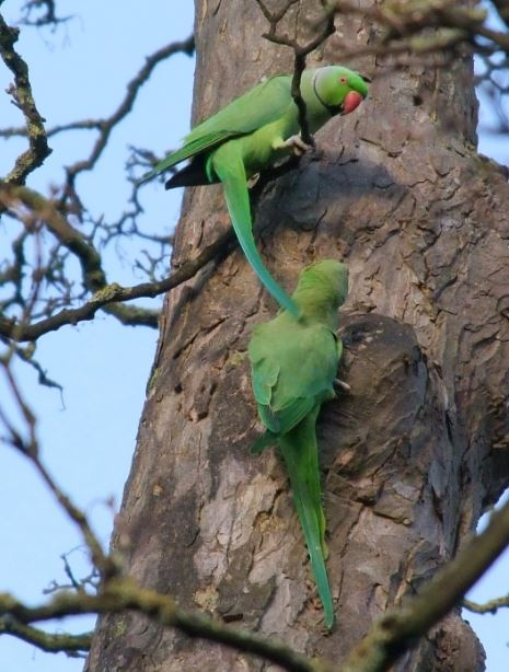 Ring-necked Parakeets, Abington Park, Northampton, 9th January 2015 (Doug Goddard)