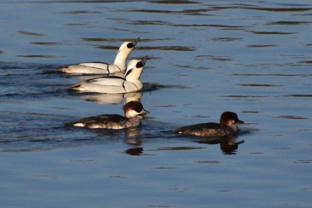 Smew, Ravensthorpe Res, 24th January 2014 (Stuart Mundy)