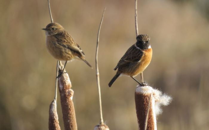 Stonechats, Ditchford GP, 24th January 2014 (Simon Hales)