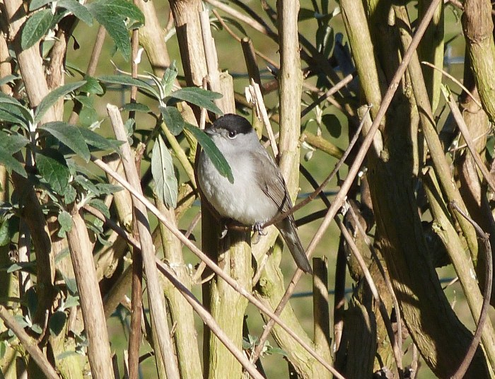 Central European Blackcap, Thrapston, 9th February 2015 (David Holden)