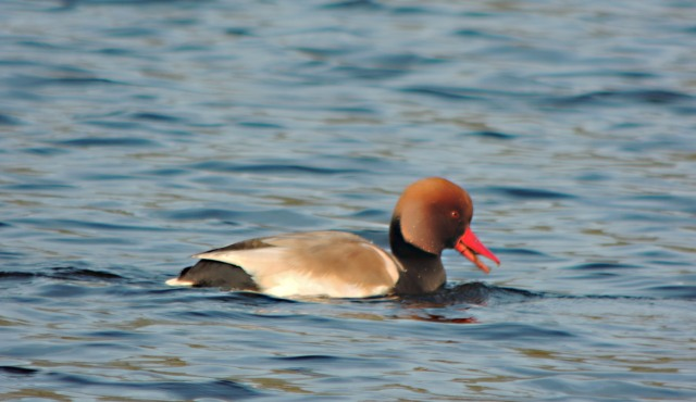 Drake Red-crested Pochard, Hardingstone GP, 3rd February 2015 (Mike Alibone)