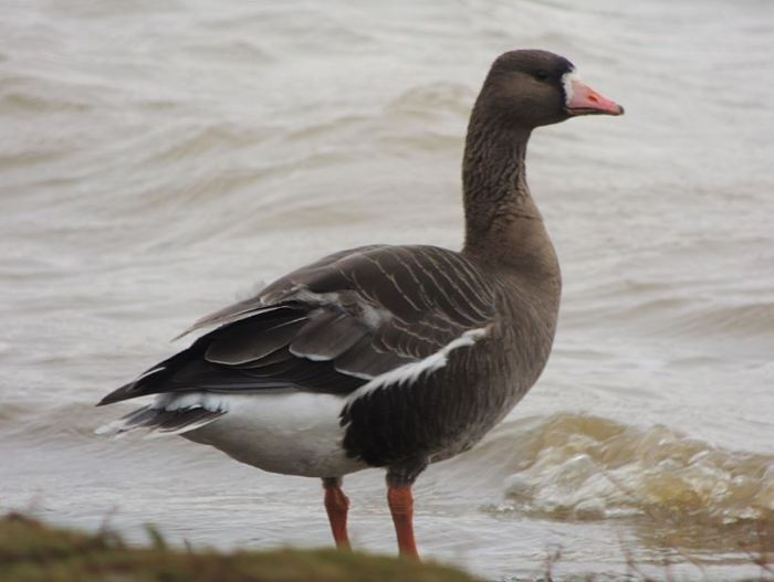 First-winter European White-fronted Goose, Pitsford Res, 22nd February 2015 (Mike Alibone)