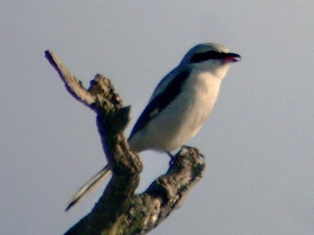Great Grey Shrike, Burn Coppice, Deenethorpe, 8th February 2015 (Adrian Borley)