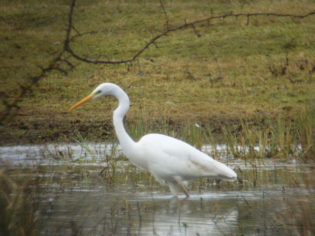 Great White Egret, Summer Leys LNR, 7th February (Adrian Borley)