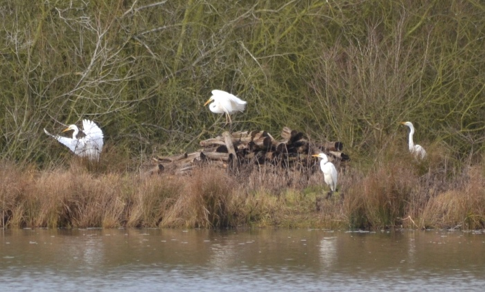 Great White Egrets, Summer leys LNR, 20th February 2015 (Stuart Mundy). Four of the five present at this site on this date.