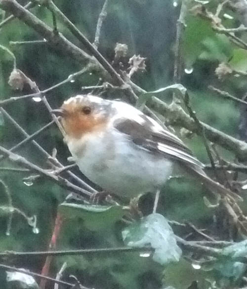 Leucistic Robin, Desborough, January 2015 (Richard Turner)